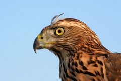 Falcon. Photo from mountains in Ukraine Royalty Free Stock Photos