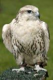 Falcon. A female gyr x saker falcon. Latin name is falco rusticolus royalty free stock photography