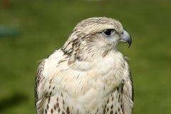 Falcon. A female gyr x saker falcon. Latin name is falco rusticolus royalty free stock photo