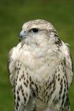 Falcon. A female gyr x saker falcon. Latin name is falco rusticolus royalty free stock image