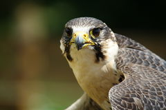 Falcon. In action in nature Stock Photo