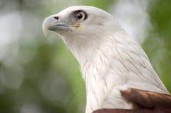 Falcon. A powerful falcon looking forward Stock Photography
