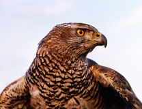 Falcon. On blue sky background Stock Images