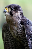 Falcon. Portrait with blured green  natural background Stock Photo