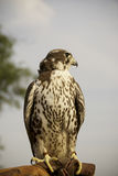 Falcon. Of prey looking for Royalty Free Stock Image