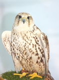 Falcon. A white hunter Saker falcon bird looking at the camera Royalty Free Stock Images