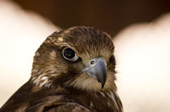 Falcon Royalty Free Stock Image