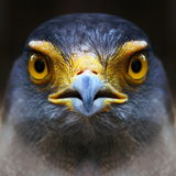 Falcon. Serpent-Eagle close-up face.(Spilornis cheela Royalty Free Stock Photography