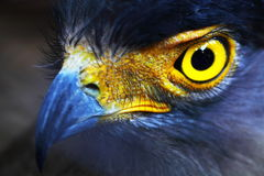 Falcon. Royalty Free Stock Photo