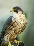 Falcon. Peregrine - uncommon - precious - rare predator Royalty Free Stock Photo