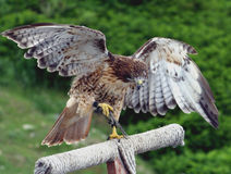 Falcon. About to fly at a wildlife refuge in the Canadian Rockies Royalty Free Stock Images