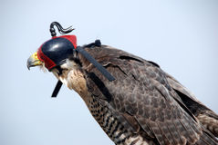 Falcon. A Falcon wears a hood, customary in the sport of Falconry royalty free stock photo