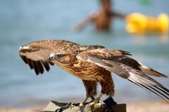 Falcon 3. Falcon nestling against a backdrop of sea Stock Photography