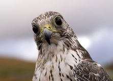 Falcon. Icelandic falcon Stock Photos