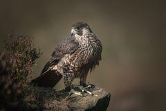 Free Falcon Royalty Free Stock Image - 31269326