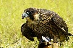 Falcon. Of prey looking for, a fast-flying bird of prey with long pointed wings. [Genus Falco: many species Royalty Free Stock Photo