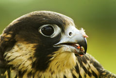 Falcon. Of prey looking for, a fast-flying bird of prey with long pointed wings. [Genus Falco: many species Stock Photo