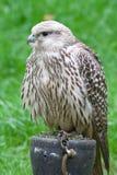 Falcon. Latin name falco rusticolus Royalty Free Stock Photography