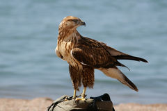 Falcon 4. Falcon nestling against a backdrop of sea Royalty Free Stock Photography