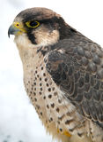 Falcon. Photo from mountains in Poland Royalty Free Stock Photos