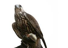 Falcon  Royalty Free Stock Image