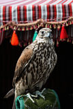 Falcon. The arabian falcon that can be found in the United Arab Emirates stock image