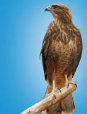 Falcon. A bird of prey isolated on a blue background Royalty Free Stock Photos