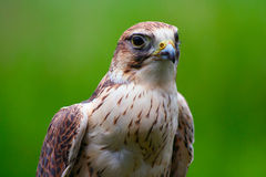 Free Falcon 5 Stock Photography - 2679692