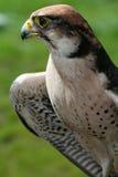 Falcon. A great falcon in spain Royalty Free Stock Photos