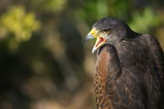 Falcon. With open beak against an out-of-focus background Stock Photos