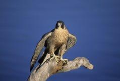 Falcon. Peregrine falcon on dead tree perch Stock Photo
