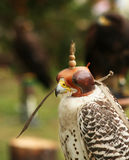 Falcon. Blind falcon-hunter before hunt Stock Photography