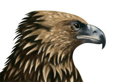 Falcon Royalty Free Stock Photography
