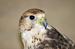 Falcon. Picture of a Falcon taken in a shop in Qatar Royalty Free Stock Images