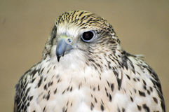 Falcon. Picture of a Falcon taken in a shop in Qatar Stock Photos