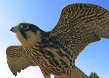 Falcon. The young falcon on a sky background Stock Photo
