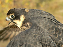 Falcon. The young falcon in flight Royalty Free Stock Photo