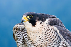 Falcon. A close up portrait of a perched falcon bird Royalty Free Stock Image
