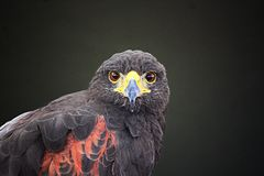 Falcon, Aguila, Wings, Eagle, Bird Royalty Free Stock Photo