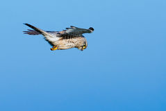 Falcon in the air Royalty Free Stock Images