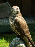 Falcon angry look Royalty Free Stock Images