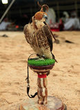 Falcon at an Arabian camp. A falcon sits on its stand at a desert camp in Qatar, Arabia, while (out of focus) Arabs in Gulf robes relax in the traditional tent Royalty Free Stock Photos