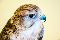 Falcon Baloban or Falco cherrug Royalty Free Stock Image