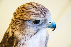 Falcon Baloban or Falco cherrug Stock Photos