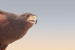 A falcon in a bedouin settlement in the Dubai desert. Stock Images