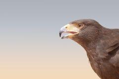 A falcon in a bedouin settlement in the Dubai desert. Stock Image