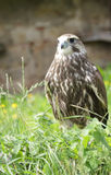 Falcon bird Royalty Free Stock Images