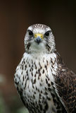 Falcon bird Stock Photo