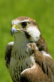 Falcon bird. Beautifull falcon bird with green background Royalty Free Stock Photography