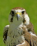 Falcon bird. Beautifull falcon bird with green background Stock Images